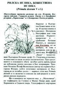 Рилска иглика или Божествената иглика в Костенският балкан